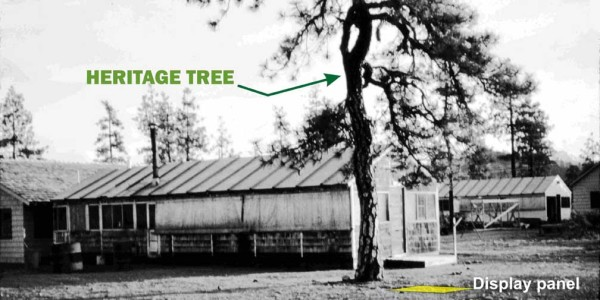 Photo from 1948 shows the Smokejumper Heritage Tree and mess hall at Siskiyou Smokejumper Base, Cave Junction, Oregon