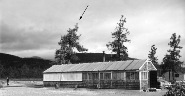 Photo showing the smokejumper heritage tree when the first cookhouse at the base was located next to the tree. Cave Junction Oregon